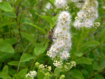 Bee pollinating flowers of white spirea. Bee pollinating blooming white spirea flowers, macro photo on green background Royalty Free Stock Photo