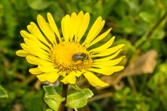 Bee pollinating a Grindelia wildflower, California. Bee pollinating a Great Valley Gumweed, Great Valley Gumplant Grindelia camporum, Grindelia robusta flower royalty free stock photography