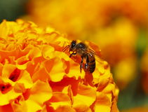 Bee pollinating I Stock Photos