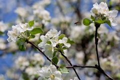 Bee pollinating jasmin tree. Bee pollinating jasmine tree during spring Stock Photo