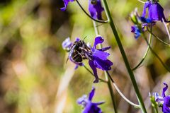 Bee pollinating Larkspur Delphinium variegatum wildflowers, San Francisco bay area, California royalty free stock photography