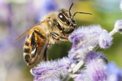 Bee pollinating a lavender plant. Macro shot royalty free stock images