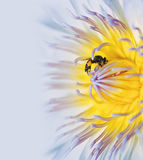 Bee on lotus Stock Images