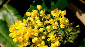 Bee pollinating mahonia. Honey bee pollinating yellow mahonia blooms with backgroung of green leaves stock video