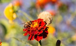 Bee pollinating a marigold flower Stock Image