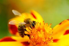 Bee Pollinating Marigold Flower Royalty Free Stock Photo