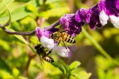 Bee pollinating a Mexican sage flower, California royalty free stock photo