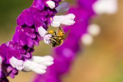 Bee pollinating a Mexican sage flower, California royalty free stock photos