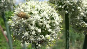 Bee pollinating onion flowers in the breeze Royalty Free Stock Photo