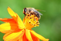 Bee pollinating an orange coreopsis flower Stock Photography