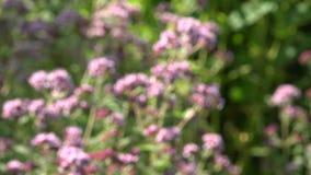 Bee pollinating origanum, 4K stock footage