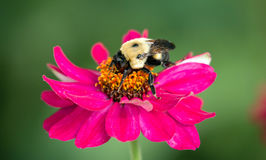 Bee pollinating pink flower. Close up of a bee feeding on pollen from a single fresh pink zinnia flower Stock Photos