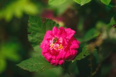 Bee pollinating pink rose flower. In green garden Stock Image