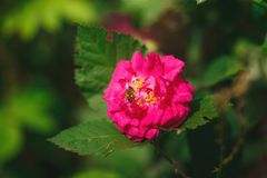 Bee pollinating pink rose flower. In green garden Stock Photography