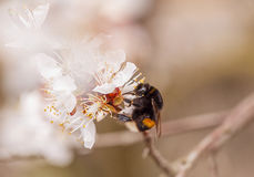Bee pollinating plum blossom Royalty Free Stock Photos
