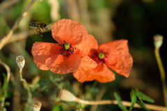 Bee pollinating the poppy in a meadow Royalty Free Stock Photo