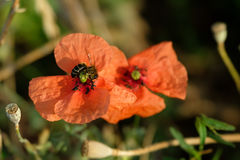 Bee pollinating the poppy in a meadow Royalty Free Stock Photos
