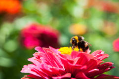 Bee pollinating Royalty Free Stock Photo