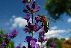 Bee. Pollinating a purple flower Royalty Free Stock Photos