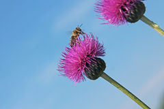Bee pollinating a purple flower Royalty Free Stock Photo