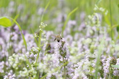 Bee pollinating purple flower Royalty Free Stock Image