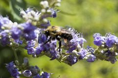 Bee Pollinating Purple Flowers Royalty Free Stock Photos