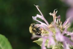 Bee pollinating purple wildflower Stock Photos