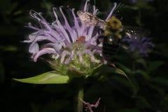Bee pollinating purple wildflower Royalty Free Stock Photo