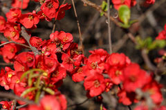 Bee pollinating red flowers Japanese quince Royalty Free Stock Images