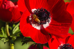 Bee pollinating red poppy anemone flower. Closeup of bee pollinating red poppy anemone flower Royalty Free Stock Images