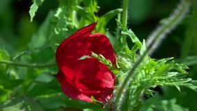 Bee Pollinating Red Poppy Flower stock footage