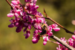 Bee pollinating a redbud bloom Royalty Free Stock Photos