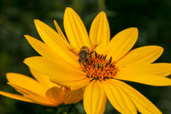 Bee pollinating Rudbeckia bright yellow flower Stock Photo