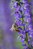 Bee Pollinating Salvia Plant Royalty Free Stock Image