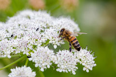 Bee pollinating small white flowers. Macro full frame Royalty Free Stock Images