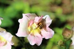 Bee pollinating snapdragon Stock Photos