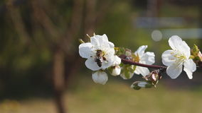 Bee Pollinating Sour Cherry Blossoms. In the garden stock video footage