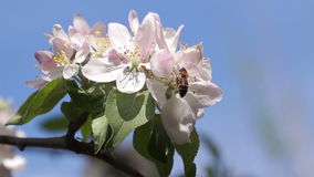 Bee Pollinating Spring Flowers stock video