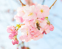 Bee pollinating springtime blooming orchard fruit garden Stock Photography