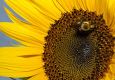 Bee Pollinating a Sunflower Royalty Free Stock Photography