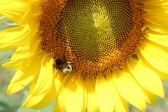 Bee Pollinating Royalty Free Stock Image