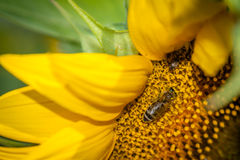 Bee pollinating a sunflower Royalty Free Stock Image
