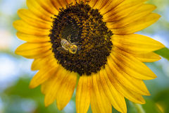 Bee pollinating a Sunflower Stock Photos