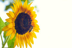 Bee pollinating a Sunflower Royalty Free Stock Photo