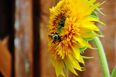 Bee pollinating sunflower. A pollen covered bee sips from a sunflower Royalty Free Stock Image