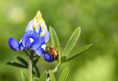 Bee pollinating Texas bluebonnet flower Stock Photography