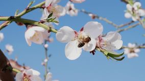 Bee pollinating white almond flower and flying away, closeup. Bee pollinating blossom white almond flower in blooming orchard and flying away, close up. Honeybee stock footage