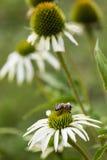 Bee pollinating white echinacea Stock Image