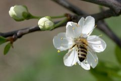 Bee pollinating white flower Stock Photo