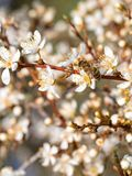 A bee pollinating white fresh flowers on a blooming apple tree. A bee pollinating white fresh flowers on a blooming fruit tree, close-up stock image